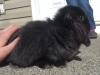 Black Mini Lop