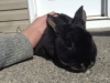 Black Otter Mini Rex